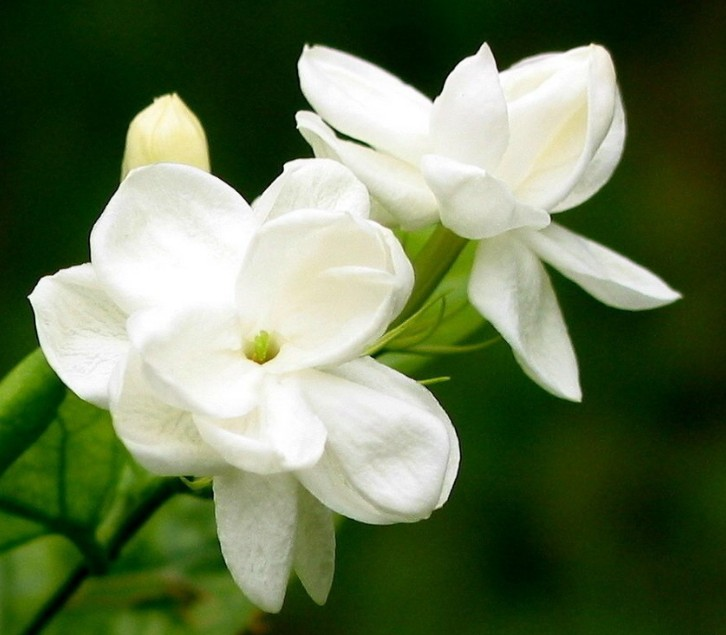 Jasminum sambac seed