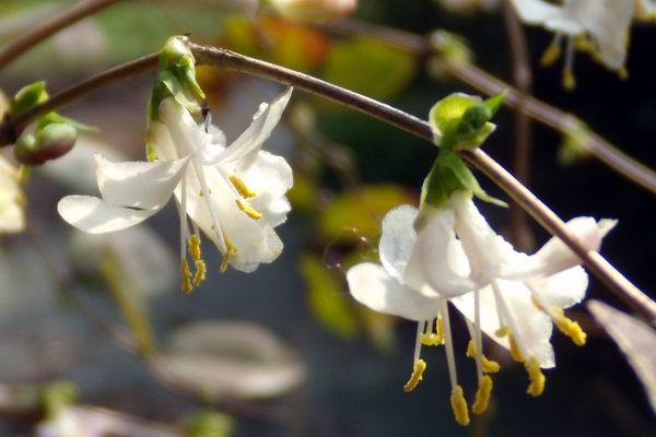 Lonicera fragrantissima seed
