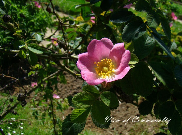 Rosa rubiginosa seed