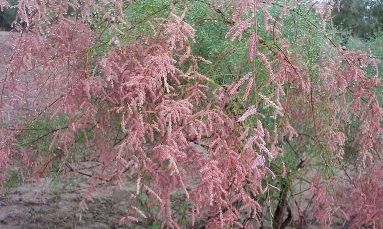 Tamarix gallica seed