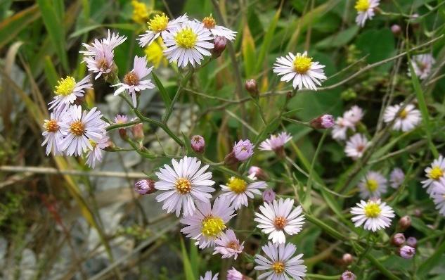 Tripolium pannonicum seed