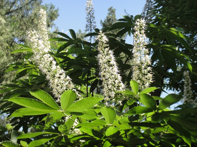 aesculus-parviflora-seed