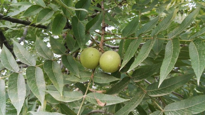 juglans-nigra-seed