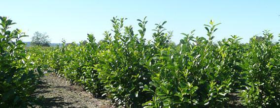laurelia-sempervirens-seed