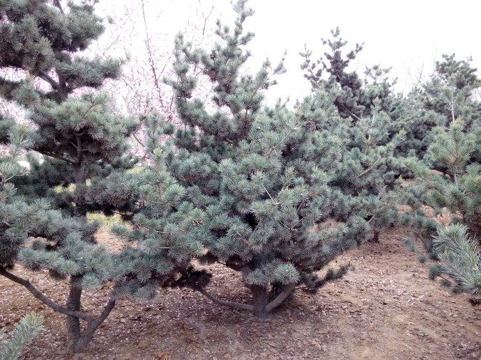 pinus-parviflora-seed