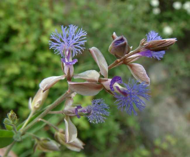 polygala-vulgaris-seed