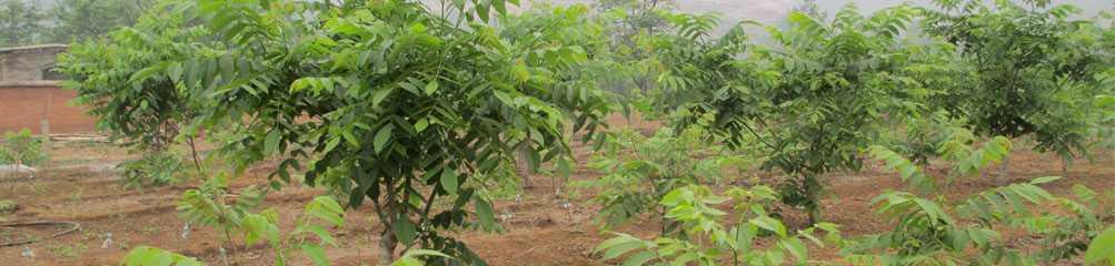 Pterocarya rhoifolia seed