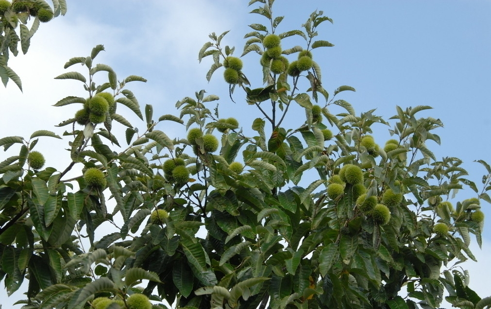 Castanea sativa seed