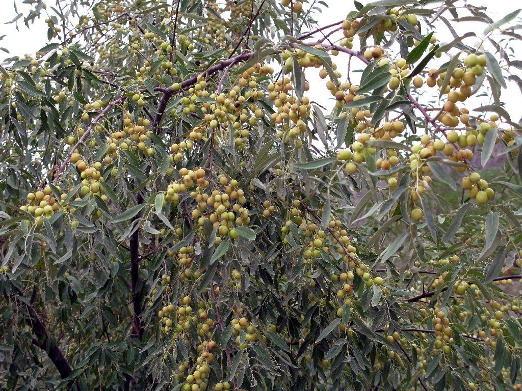Elaeagnus angustifolia seed