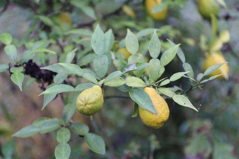 Citrus ichangensis seed