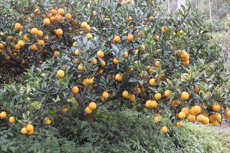Citrus junos seed
