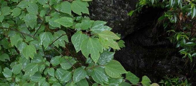 Lindera obtusiloba seed