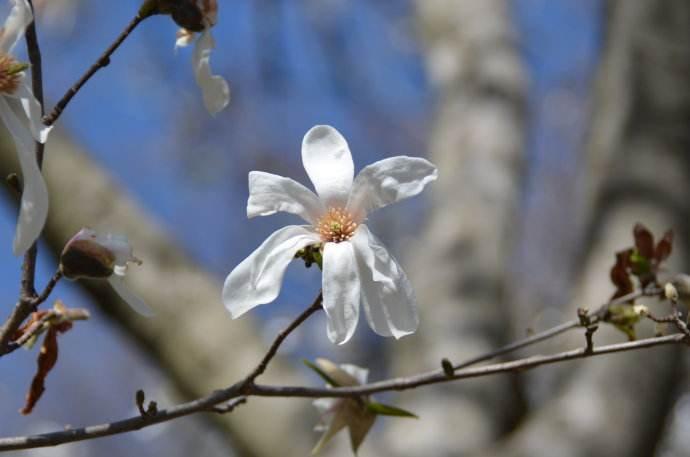 Magnolia kobus seed