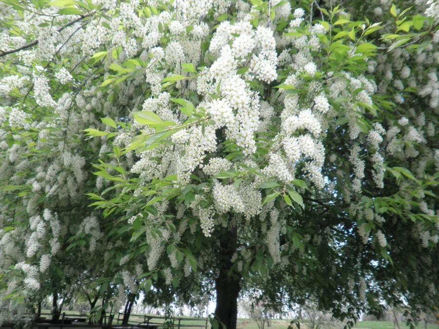 Prunus padus seed