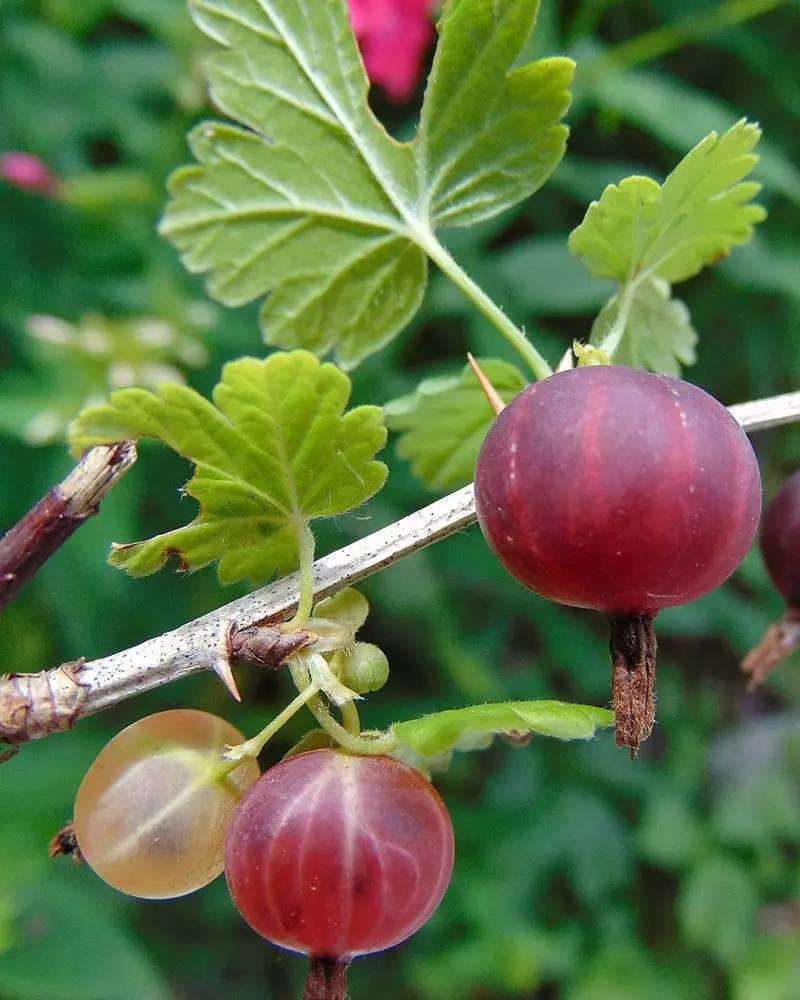 Ribes sanguineum seed