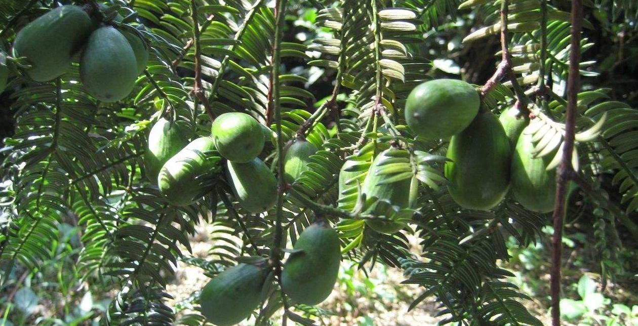 Torreya nucifera seed