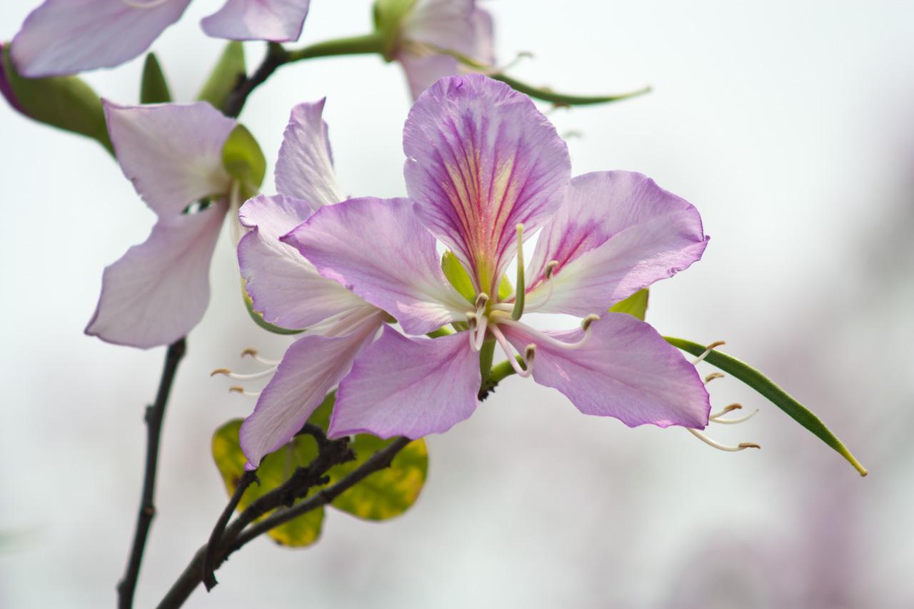 Bauhinia variegata seed