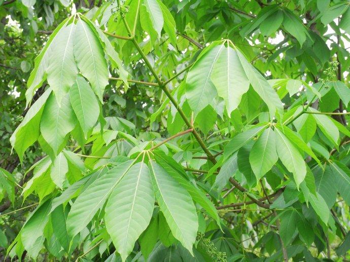 Aesculus wangii seed