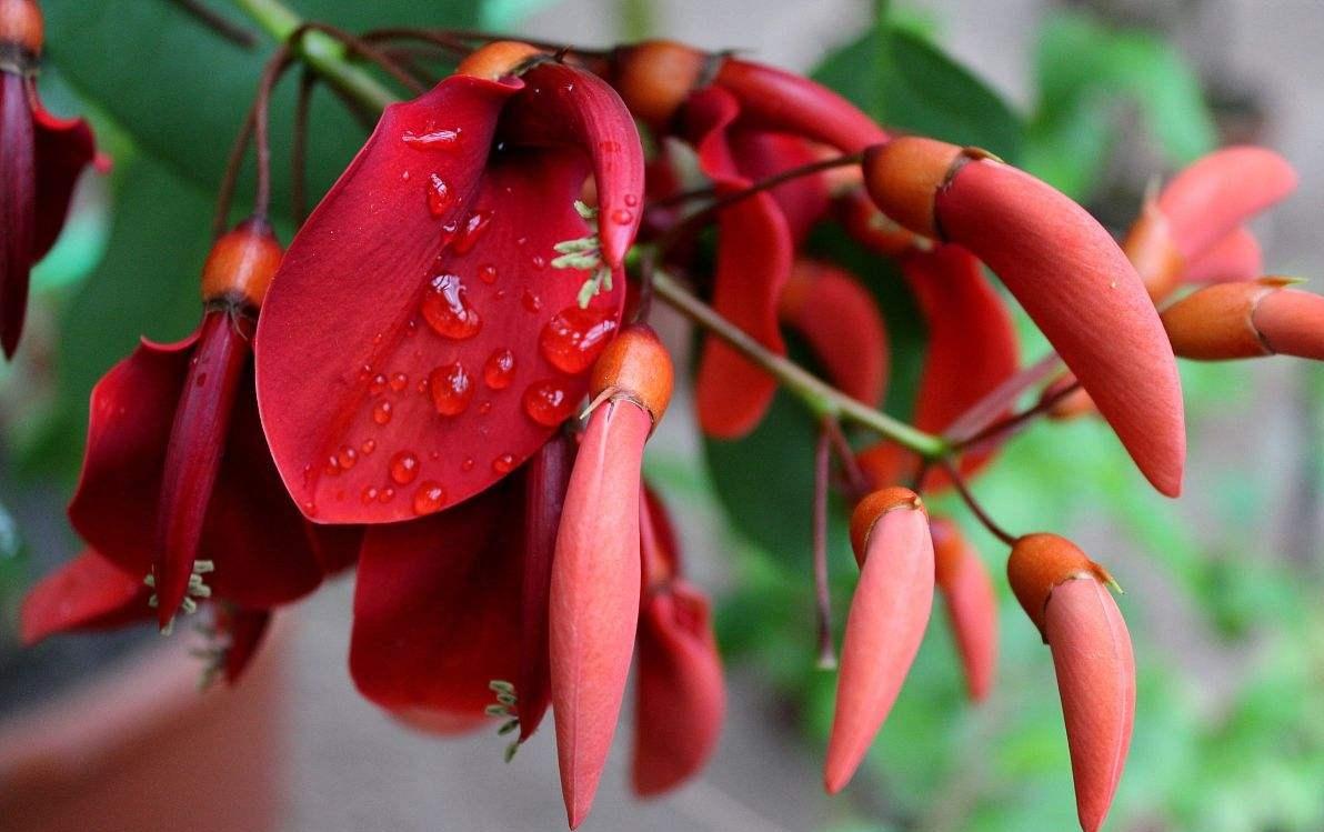 Erythrina variegata seed