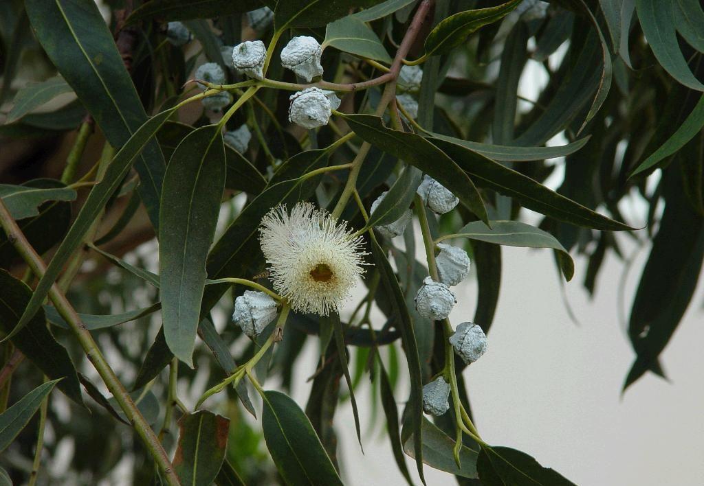 Eucalyptus globulus seed