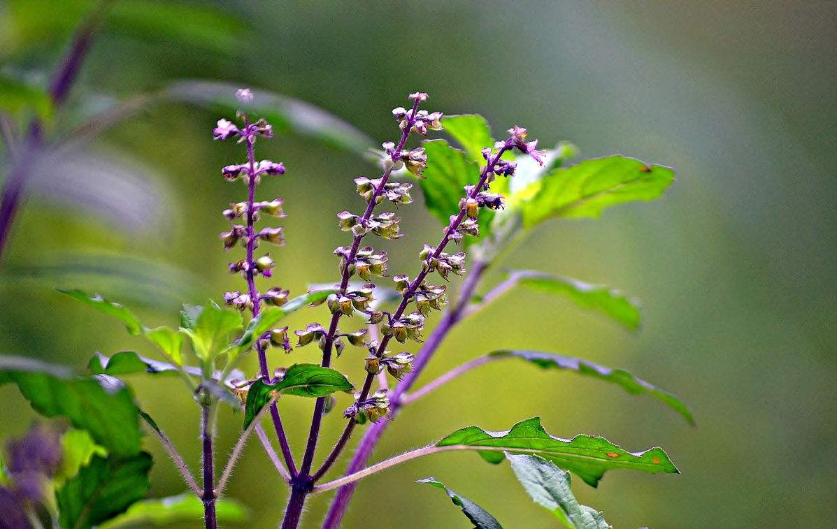 Ocimum tenuiflorum seed | ZHONG WEI Horticultural Products ...