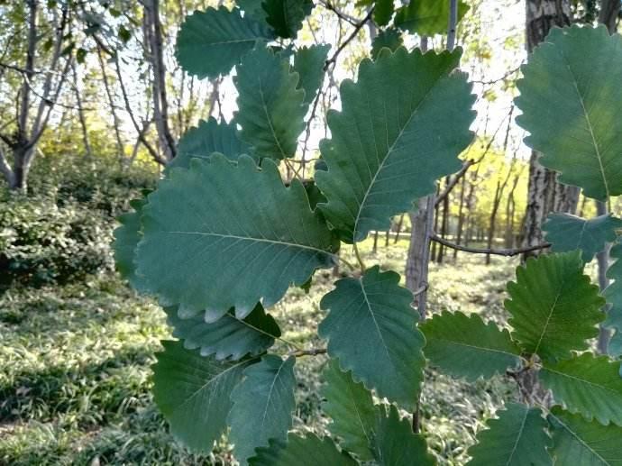 Quercus aliena seed