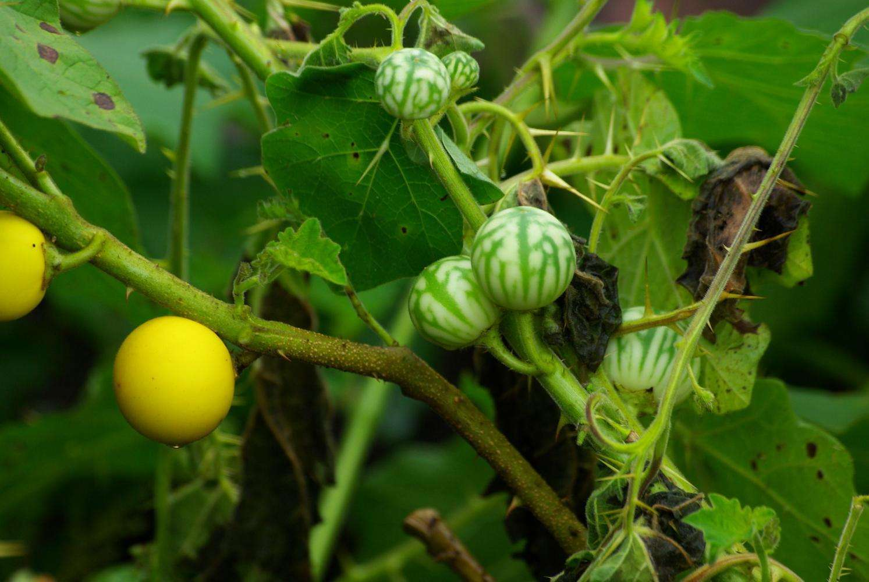 Solanum xanthocarpum seed