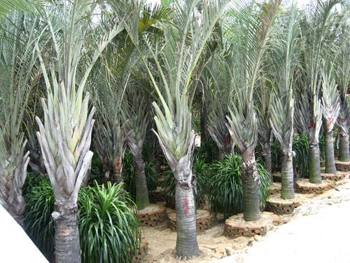 Triangle Palm seed
