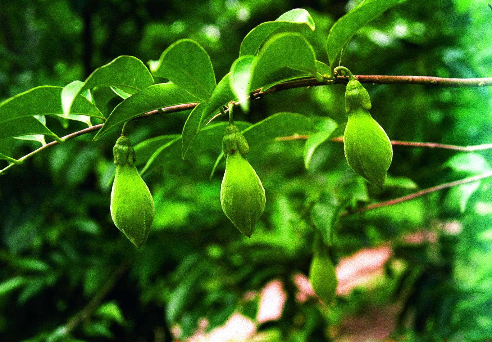 Aquilaria sinensis seed