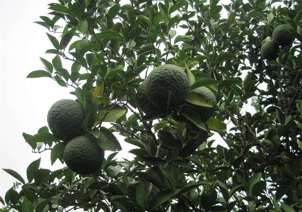 Citrus aurantium seed
