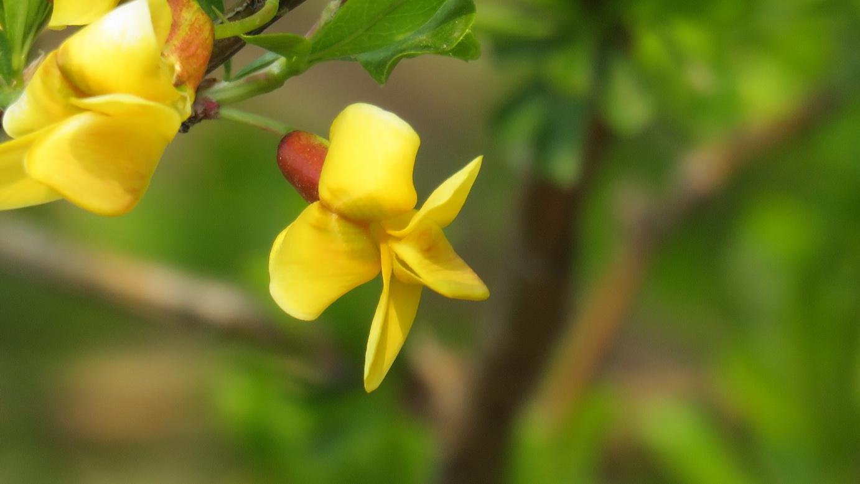 Caragana korshinskii seed