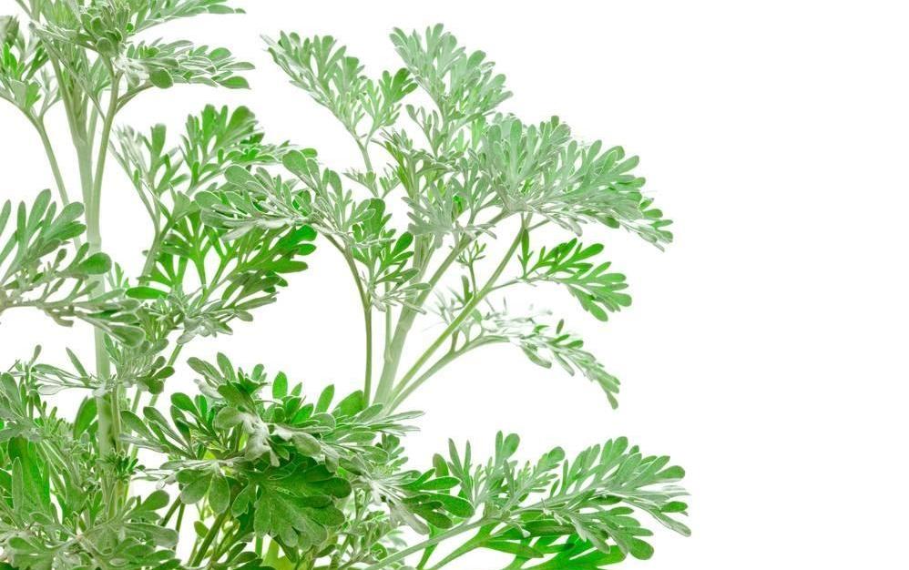 Artemisia absinthium seed
