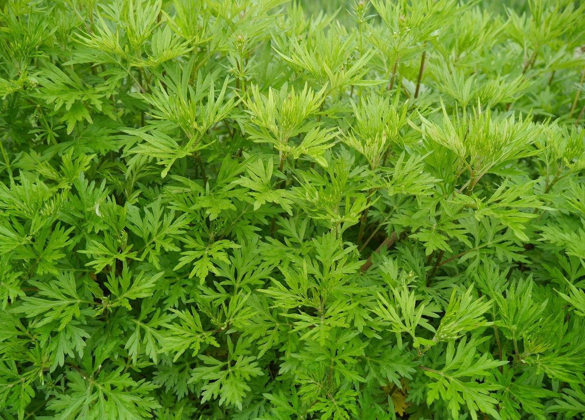 Artemisia carvifolia seed