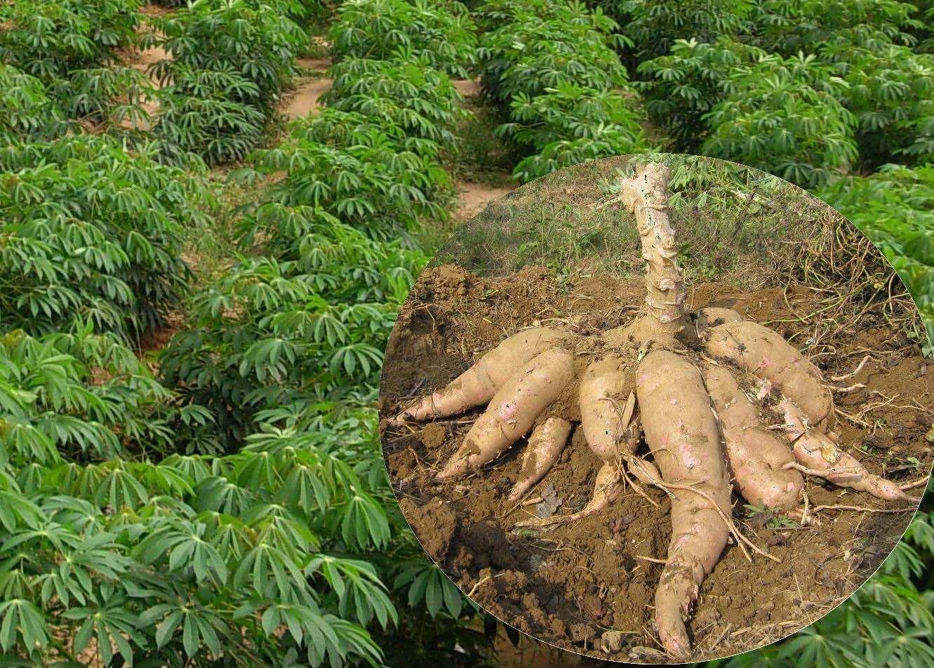 Cassava seed Manihot esculenta