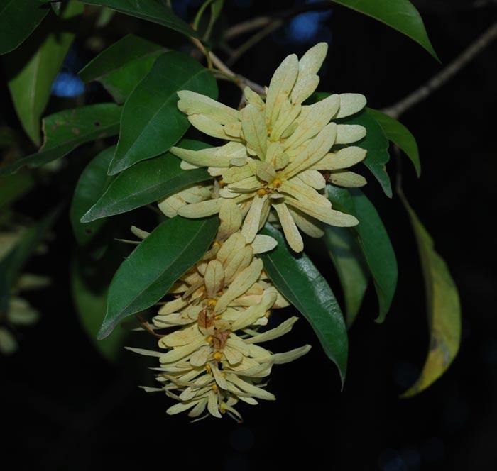 Engelhardia spicata seed