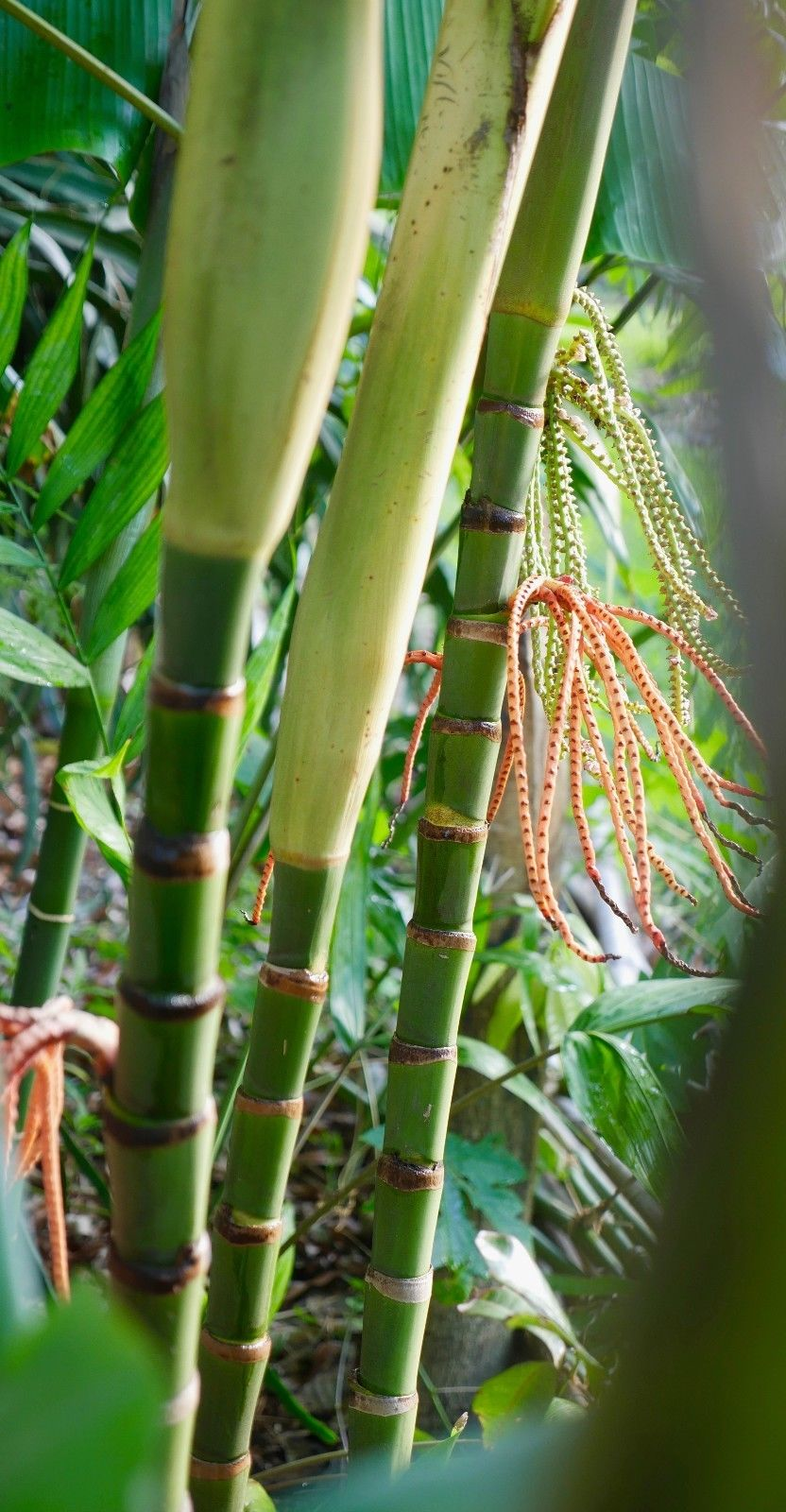 Pinanga coronata seed