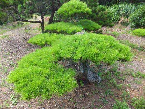 Pinus luchuensis seed