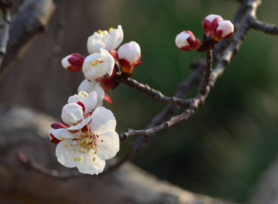 Prunus mume seed