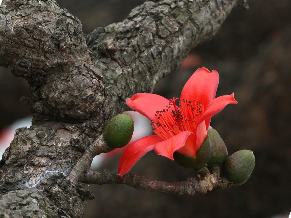Bombax malabaricum seed