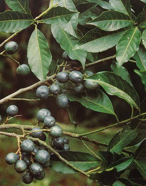 Elaeocarpus angustifolius seed