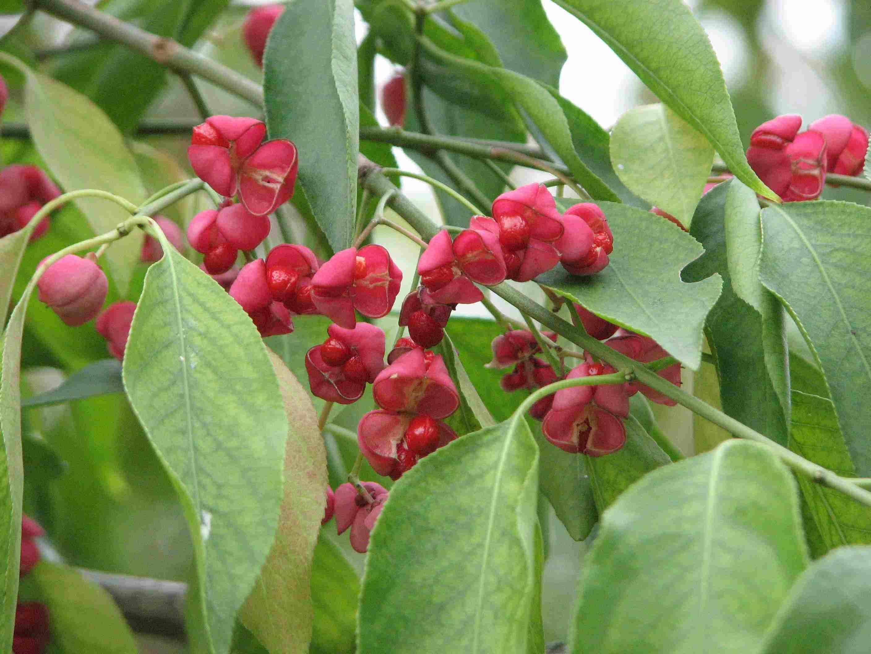Euonymus hamiltonianus seed