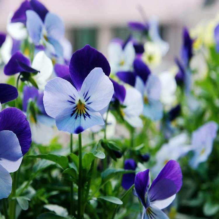 Viola cornuta seed