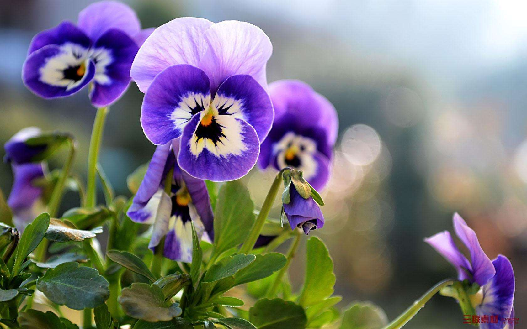 Viola tricolor seed