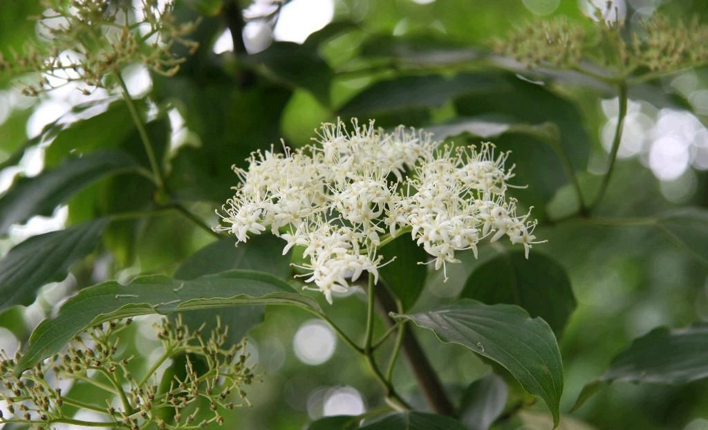 Cornus alternifolia seed