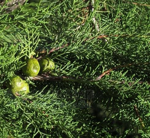 Cupressus duclouxiana seed