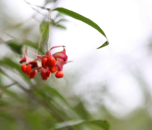 Euonymus cornutus seed