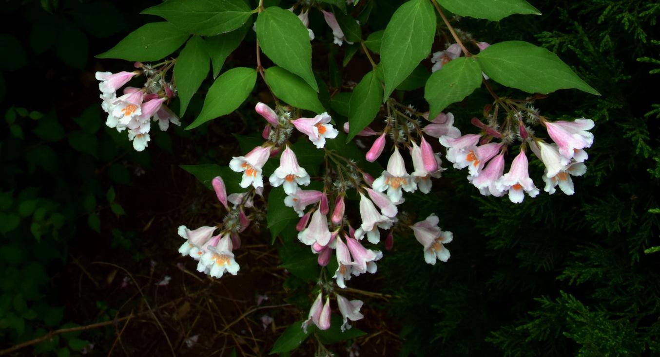 Linnaea amabilis seed