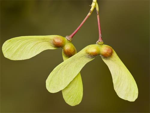 Acer opalus seed