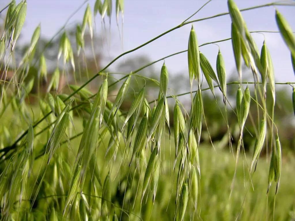 Arrhenatherum elatius seed