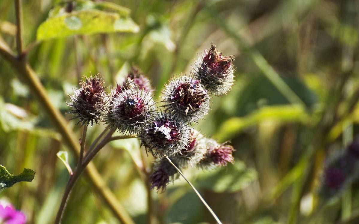 Carduus nutans seed